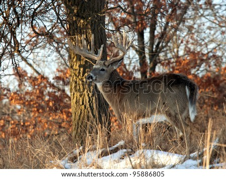 Big, trophy, whitetail deer buck, standing profile in the morning sunlight. Many more images of this buck in my portfolio.