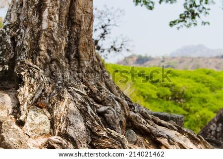 Big trunk in Copan, Honduras, Central America #214021462