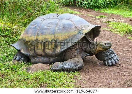 Big turtle on galapagos islands - stock photo