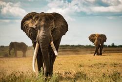 Big tusker elephant that wonders across african savanna plains of the Kruger NP