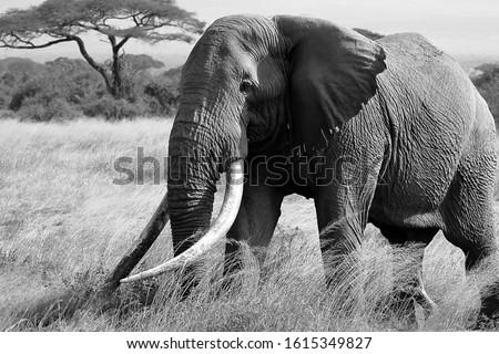 Big tusker Tim portrayed in Amboseli National park