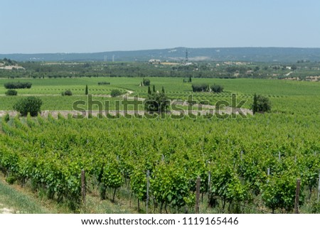 Big vineyards with rows of wine grapes plants in great wine region of South Italy Apulia #1119165446