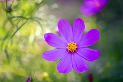 big violet flower ,green background ,nature, garden, amazing,  purple ,lovely, rain ,yellow, pink, petals ,long ,fresh, color, spring, evening, reflexions, water ,beautiful
