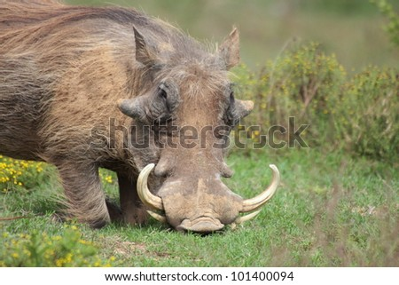 big warthog with large tusks feeds on his knees in this close up portrait in South Africa