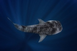 Big whale shark dive in the deep ocean life