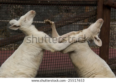 Big white kangaroos fighting