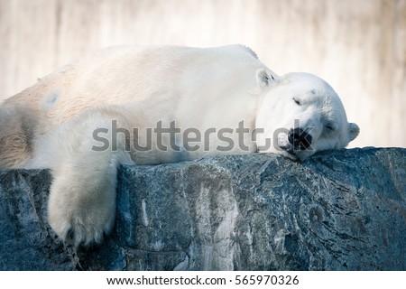 Big White Polar Bear sleeping on icy rock