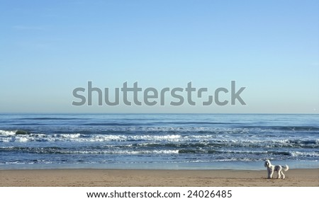 Big white poodle in a huge beach landscape, mediterranean sea