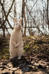 Big white rabbit sitting in two legs in the forest in spring time