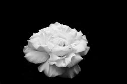 Big white rose petal black and white