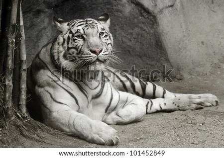 big white tiger lying on the floor #101452849