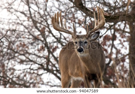 Big whitetail deer buck looking into camera lens