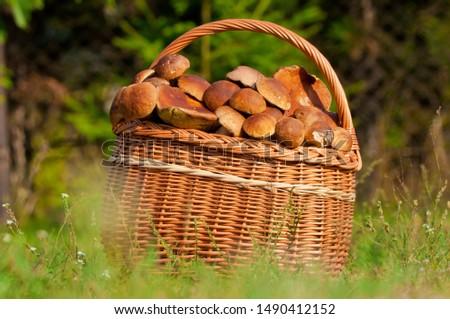 Big wicker basket with edible mushrooms (boletus edulis bull, borowik szlachetny, prawy, prawdziwek). Mushroom picking in Poland. Zdjęcia stock ©
