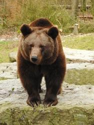 Big, wild brown bear