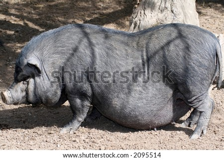 big wild pig with huge belly