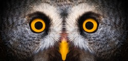 Big yellow eyes of a owl close-up. Great owl eyes looking at camera. Strigiformes nocturnal birds of prey, binocular vision