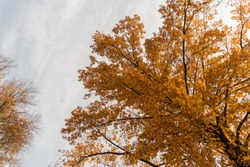 Big yellow tree with grey sky clouds in autumn