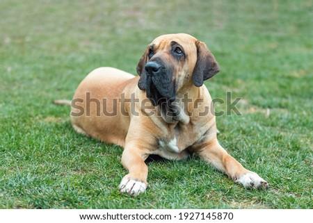 big young guardian dogs, female of Fila Brasileiro, Brazilian Mastiff, outdoor on green grass Stock fotó ©