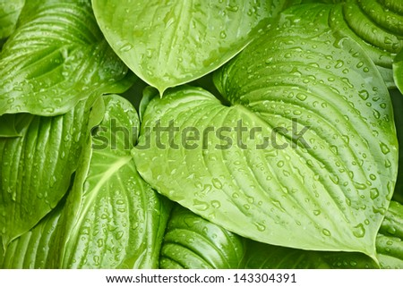 Big young leaves of ornamental plants Hosta plantahinea with drops of morning dew