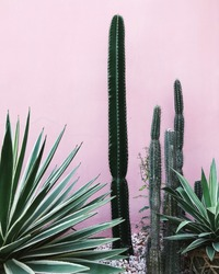 Big yucca and cactuses on pink wall background
