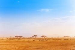 Big zebras herd in the distance of African savanna