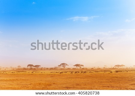 Big zebras herd in the distance of African savanna