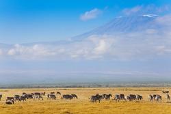 Big zebras herd standing in front of Kilimanjaro