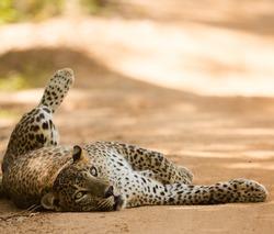 Bigcat Strawberry in her relax mood.She lives in Yala National Park Sri Lanka.