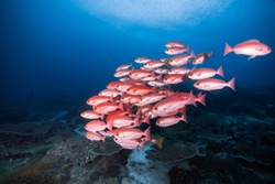 Bigeyed red snapper family is wondering around in the morning