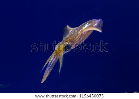 Bigfin reef squid floats in blue water in a diagonal position. It has bright colors all over its body. It has winged fins on its back. It has a single black eye.