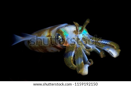 Bigfin reef squid - night dive in Bali.