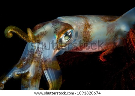 Bigfin reef squid, Sepioteuthis lessoniana