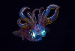 Bigfin Reef Squid - Sepioteuthis lessoniana in the night. Underwater world of Tulamben, Bali, Indonesia.