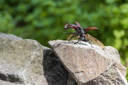 Biggest beetle specie living in Europe - Stag beetle (Lucanus cervus). Insect with big mandibles standing on stone prepared for taking off. Animals in wild nature.