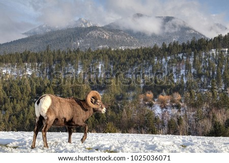 Bighorn Ram  in the Canadian Rocky Mountains. Bighorn Sheep are strong and agile and perfectly built to survive in the Rocky Mountains. #1025036071