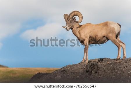 Bighorn Sheep #702558547
