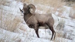 Bighorn Sheep at Yellowstone National Park