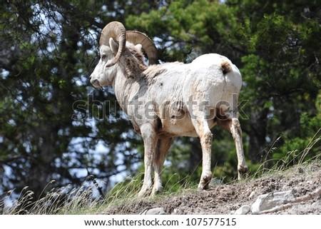 Bighorn sheep, Banff National Park, Alberta, Canada