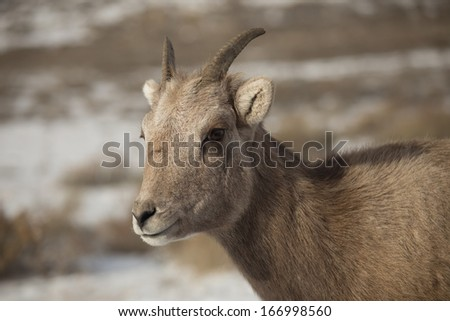 Bighorn Sheep Ewe (Female)
