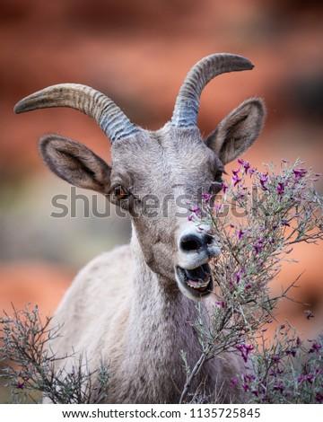 Bighorn sheep feeding alone #1135725845
