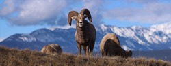 Bighorn Sheep grazing in the Canadian Rockies preparing for Winter
