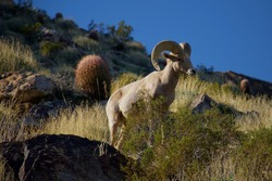 Bighorn sheep in Palm Springs California