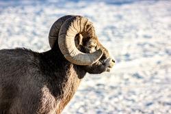 bighorn sheep in the jasper wild