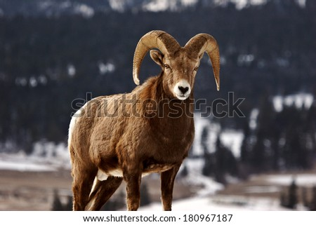 Bighorn Sheep in winter #180967187