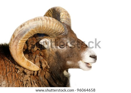 Bighorn Sheep - isolated on white background