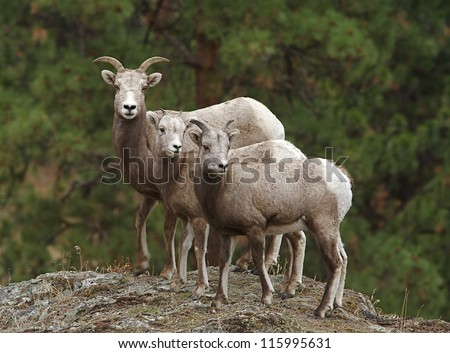 Bighorn Sheep, mother and twin lambs, selective focus on the near lamb, Rocky Mountains,  USA; mother and child wildlife & nature photography