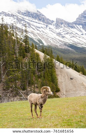 Bighorn Sheep Ovis canadensis in Banff National Park, Alberta, Canada #761681656