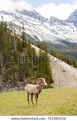 Bighorn Sheep Ovis canadensis in Banff National Park, Alberta, Canada #761681656