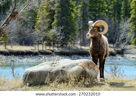 Bighorn Sheep Posing Near Rock in front of Athabasca River, Jasper National Park, Alberta, Canada