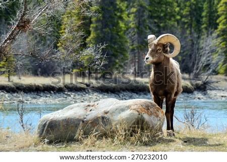 bighorn sheep posing near rock...